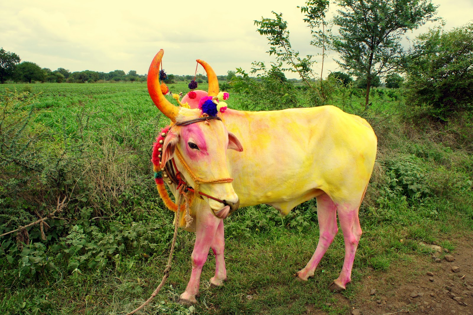The meaning and origin of the expression: Sacred cow