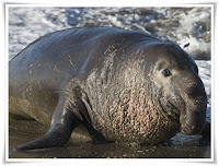 Elephant Seal Animal Pictures