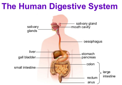 human digestion essay In this essay we will discuss about the digestive system in humans after reading  this essay you will learn about:- 1 organs of digestive system 2 accessory.