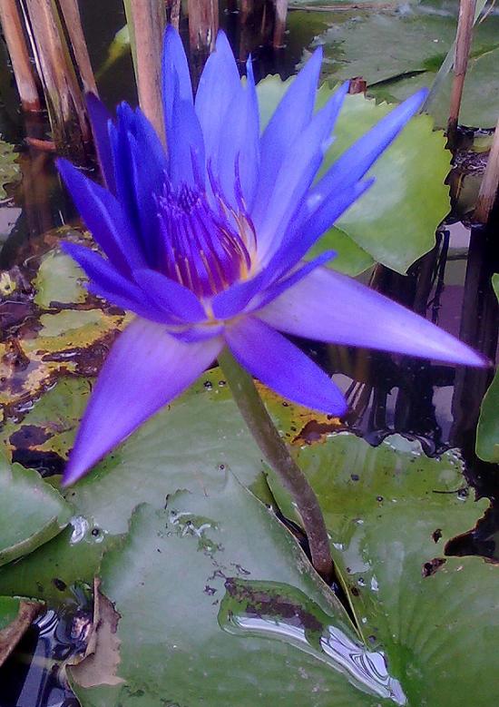 Photo Tumbuhan  Manfaatnya Gambar Bunga Teratai Biru