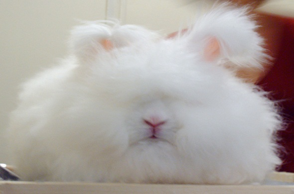 angora-rabbit-أرنب-الأنجورا