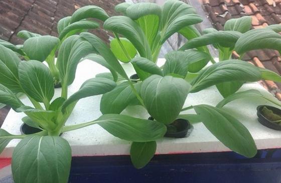 Cara Budidaya Hidroponik Sayuran Sawi dengan Media Air