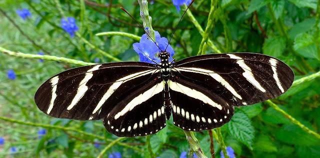 Zebra longwing butterfly on porterweed