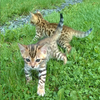 Stunning Benagl Kittens