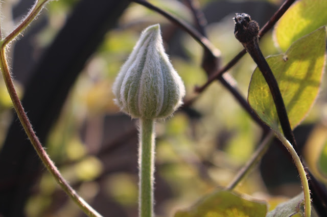 Clematis 'Diamantina' in bud, March 2016