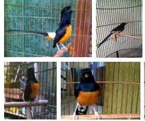Bisnis Cara Budidaya MURAI BATU untuk pemula : http://tips-panduan-lengkap.blogspot.com/2015/01/ternak-budidaya-burung-murai-batu-untuk-pemula.html Cara ternak muarai batu yang baik dan benar Burung murai batu memiliki habitat asli di wilayah benua asia meliputi Thailand, Malaysia dan Indonesia. Burung ini memiliki ciri yaitu berwana hitam pada bulu bagian atas serta bagian bawah berwana orange. Keunikan burung ini yaitu dilihat dari gaya kicaunya yang indah sambil memainkan lentik ekor yang menawan. Panduan budidaya/ternak murai batu terlengkap Burung murai batu ini sangat digemari oleh para penghobi burung. Jenis murai batu yang paling banyak dicari yang asalnya dari hutan Sumatra (dengan sebutan murai medan, lampung hingga murai aceh) untuk jenis murai dari wilayah Kalimantan kurang diminati dan harga jualnya masih relatif dibawah ketimbang jenis murai yang berasal dari Sumatra. Cara budidaya murai batu agar berhasil 100% Beternak murai batu akhir-akhir ini menjadi salah satu bisnis yang cukup populer digeluti para para penghobi burung. Harganya terus meroket tajam, akibat semakin berkurangnya populasi di alam bebas, membuat banyak kalangan mencoba ternak burung ini. Bisnis prospek budidaya muri batu hasil melimpah Cara beternak murai batu susah-susah mudah. Jika Anda ingin mencobanya maka ada 4 syarat yang harus anda penuhi yaitu; ketrampilan, keuletan, ketelitian dan kesabaran. Jika Anda tidak lolos 4 syarat tersebut kami sarankan agar anda lebih baik mencoba usaha lainya saja. Cara mudah untuk kaya raya dengan penangkaran/budidaya murai batu Bedasarkan pengalaman para peternak murai batu, cara beternak murai batu ada banyak tahapannya, yang harus diperhatikan dalam melakoni usaha ternak ini, supaya berhasil tentunya. Apalagi bagi Anda seorang pemula yang ingin mencobanya. Cara budidaya murai batu yang baik dan benar untuk pemula 100% berhasil Sebenarnya kesulitan dalam beternak murai batu dapat diatasi, Hal ini kenapa? Karena buktinya banyak juga peternak yang