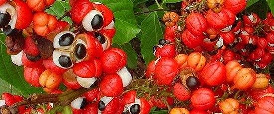 gambar buah guarana, biji guarana, projek tanaman pokok guarana di malaysia, harga buah guarana 1 kilogram, tanaman herba guarana, maksud guarana, asal usul guarana, buah guarana, manfaat biji guarana, pokok guarana, kesan sampingan guarana