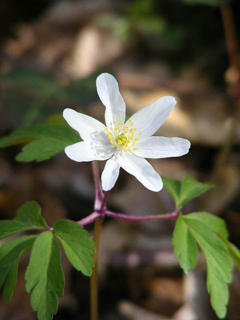 Wood Anemone Anemone nemorosa.  Indre et Loire, France. Photographed by Susan Walter. Tour the Loire Valley with a classic car and a private guide.