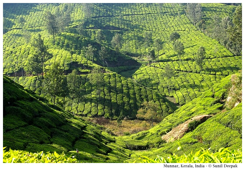 Munnar tea gardens, Kerala, India - Images by Sunil Deepak