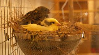 Burung Kenari Adalah Burung Yang Sensitif Terhadap Cahaya -  Solusi Penangkaran Burung Kenari