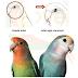 STANDAR PENILAIAN BEAUTY CONTEST LOVEBIRD