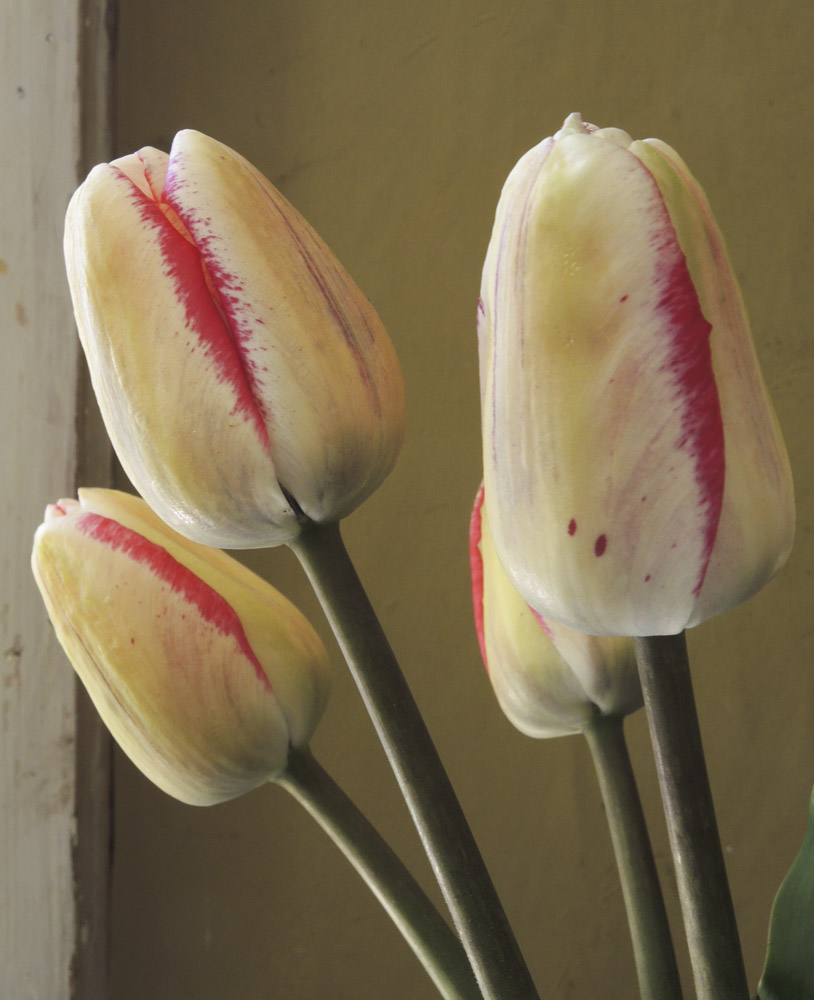 Studio and Garden: The Myriad Forms and Colors of Tulips