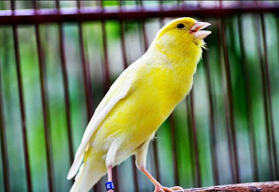 Daftar Harga Burung Kenari