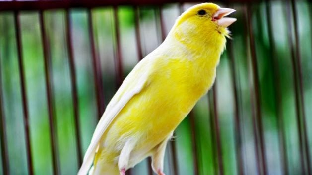 Harga Burung Kenari Terbaru Maret 2020