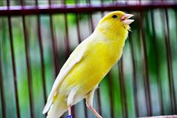 Daftar Harga Burung Kenari Juni 2019