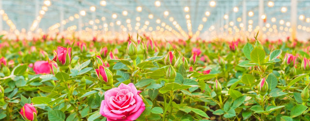 Hydroponics Plants Roses
