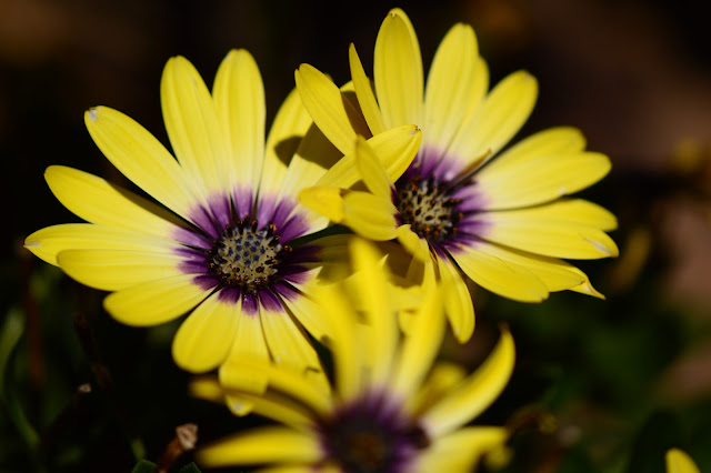 "Osteospermum ""Blue-eyed Beauty"""