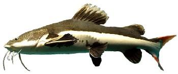 Pirarara (Phractocephalus hemioliopterus)