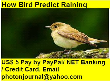 How Bird Predict Raining bird story book