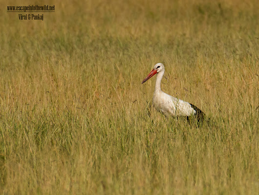 White Stork | Escape into the wild