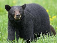 American Black Bear Pictures Ursus americanus