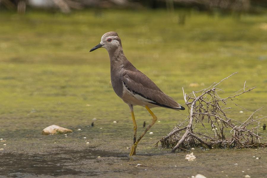 White-tailed Lapwing – Jubail