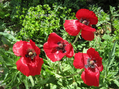 Cherry red poppy