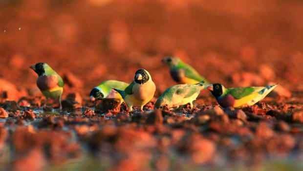 تعرف على طائر الجولديان فينش Gouldian Finch بالفديو