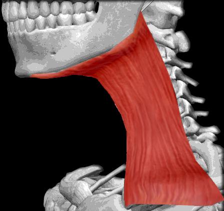 Músculo platisma | iinmed