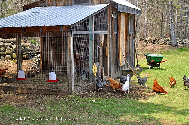 Natural Light In Chicken Coop
