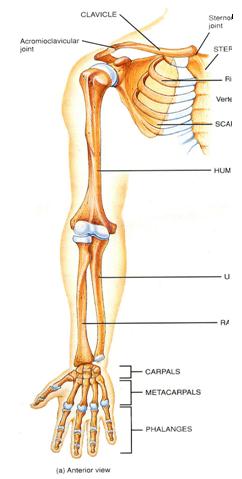 MBBS Medicine (Humanity First): Bones of Limbs  Upper Extremity Bones Unlabeled