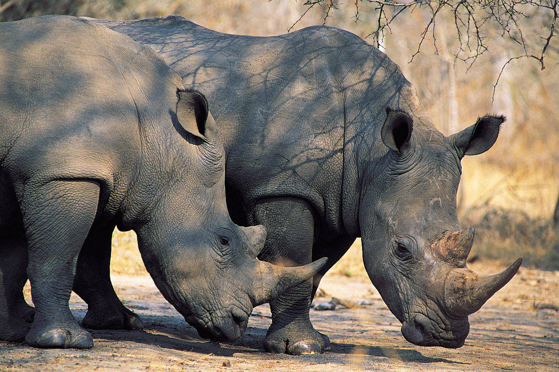 Rhinoceros The Biggest Animals Kingdom