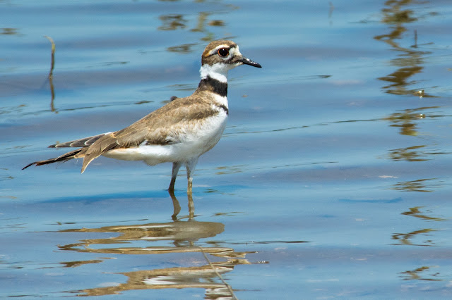 Killdeer, Hagerman NWR