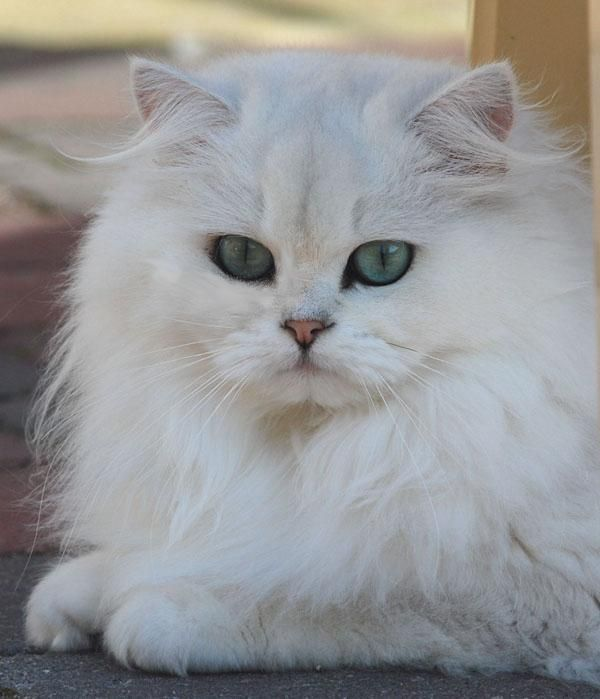 Trah Anak Kucing Persia Asli Dan Mixdome