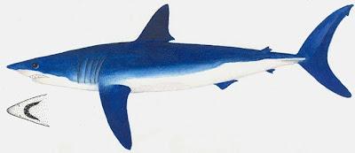 tiburon moro Isurus oxyrinchus