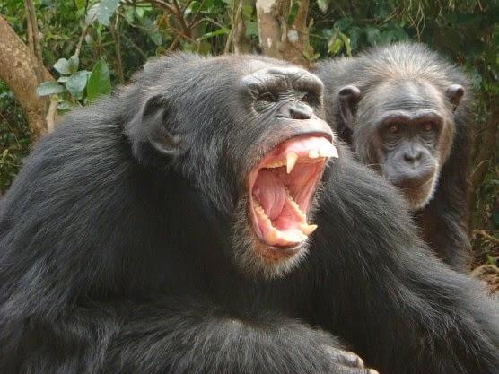 chimpanzees-01
