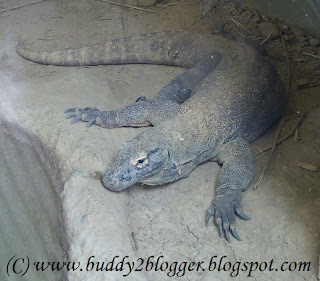 Komodo Dragon - The Giant Lizard
