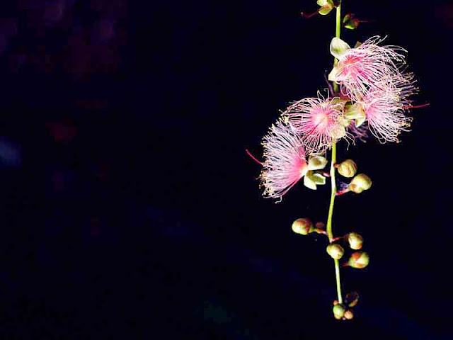 pink blossoms, black background