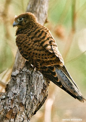 Halcón manchado Falco moluccensis