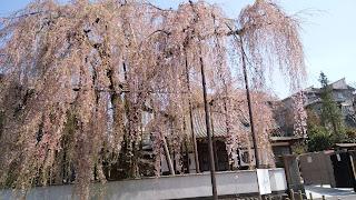 高尾(狭間町)の高楽寺 しだれ桜