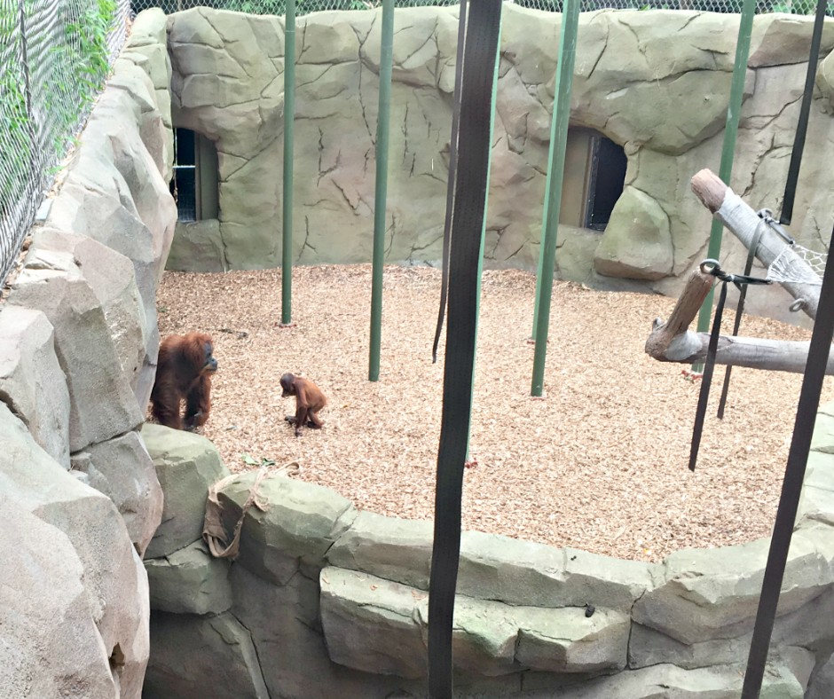 A mother and baby orangutan standing in their enclosure.
