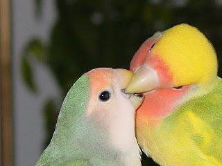 beternak lovebird