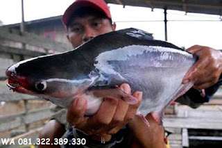 Umpan Dasar Serbuk Untuk Ikan Patin