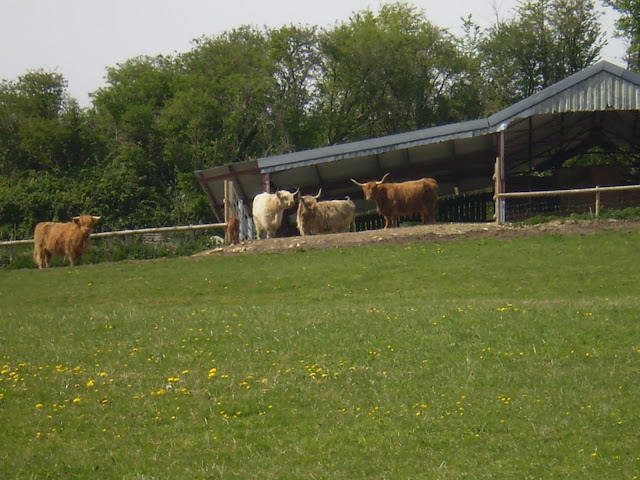 Cows Eyeing Up Their Visitors