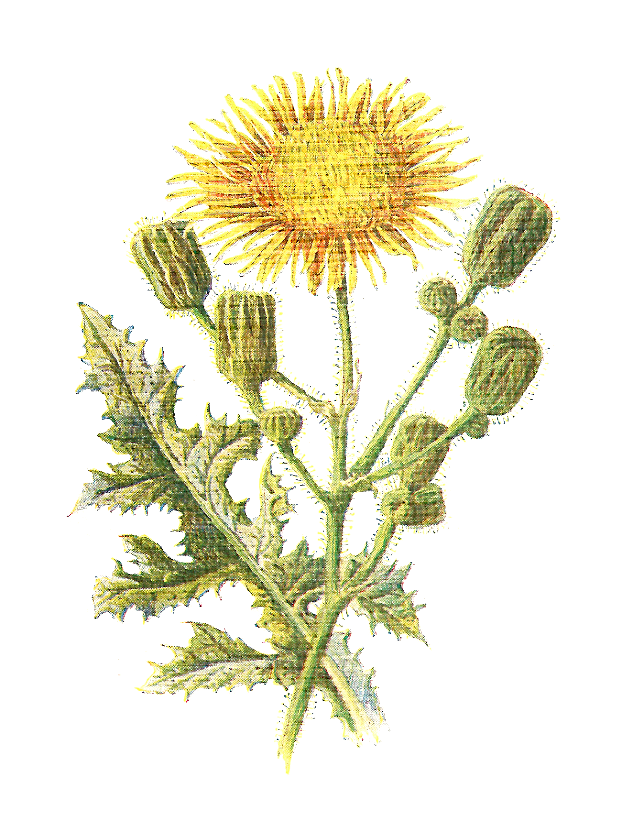 Antique Images Vintage Scrapbooking Wildflower Download Printable
