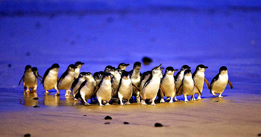 Waddling with Penguins: Our 2nd Great Melburnian Road Trip