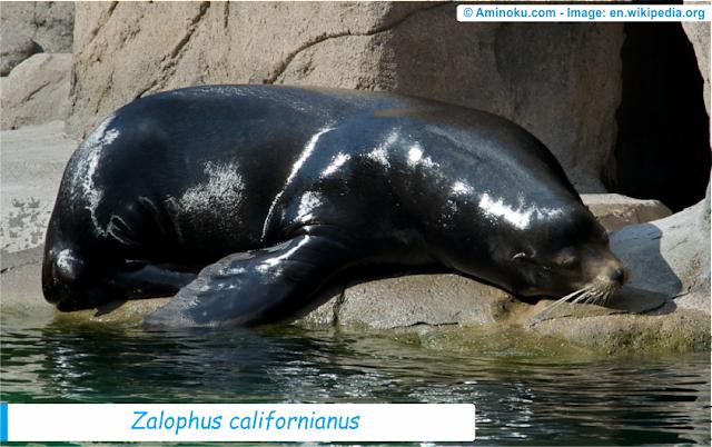 Fakta unik singa laut kalifornia