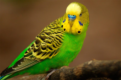 Wild Budgie colour