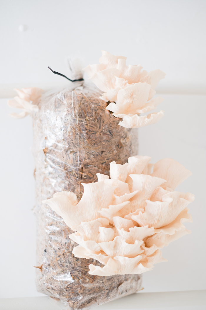growing pink oyster mushrooms