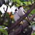 Cara Budidaya Burung Kutilang Terbaru dan Terlengkap